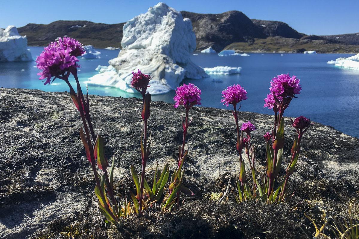 Alpe-tjærenellike foran isfjelde nord for Ilulissat-Foto Bo Normander